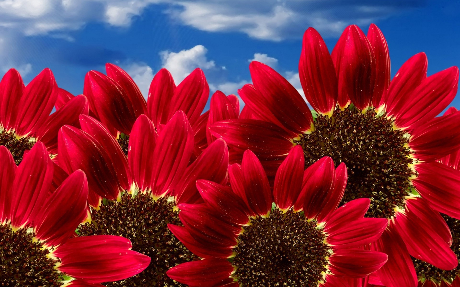 Desktop Wallpaper Red Sunflower Wallpaper