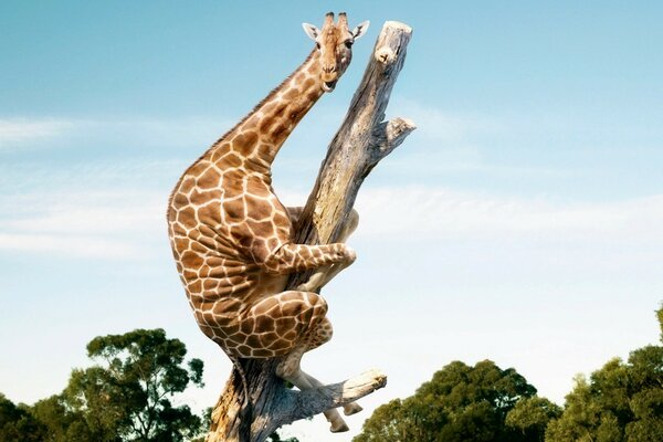 Giraffe fright climbed up into a tree