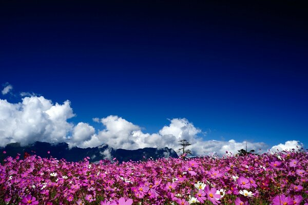 Field with pink flowers on a background of white clouds