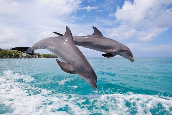 A pair of dolphins diving in the sea.