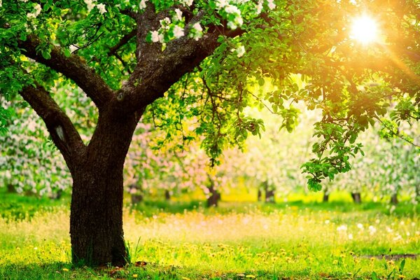 Flowering tree, sun and greenery