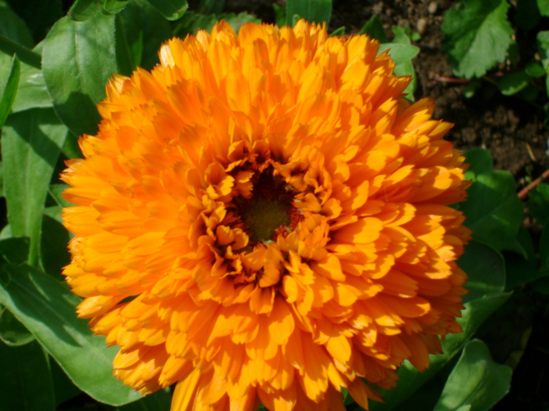 Flower cabbage calendula...