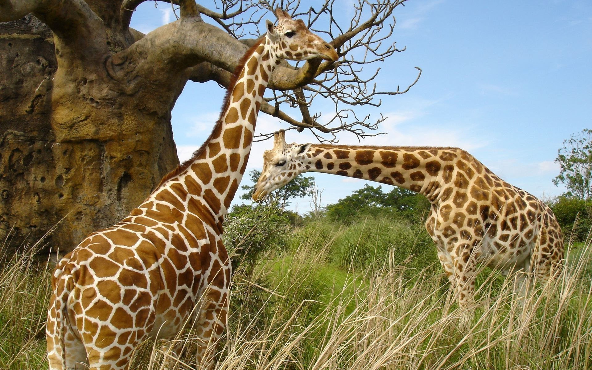 Two giraffe pluck the leaves of the trees
