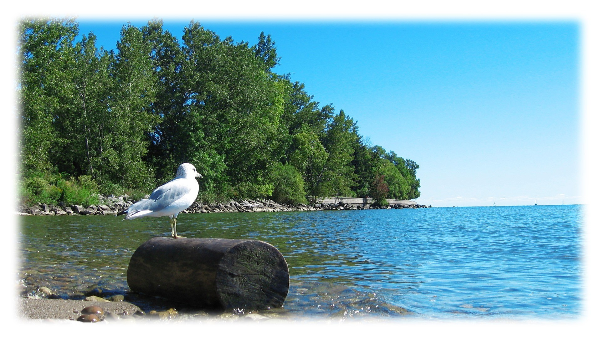 Seagull on a log at the river
