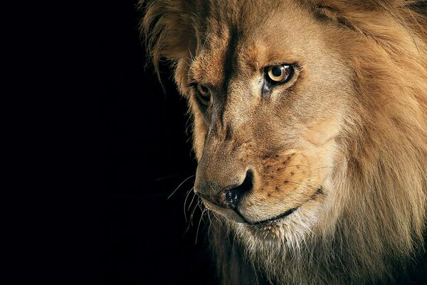 The sight of the lion - king of Africa