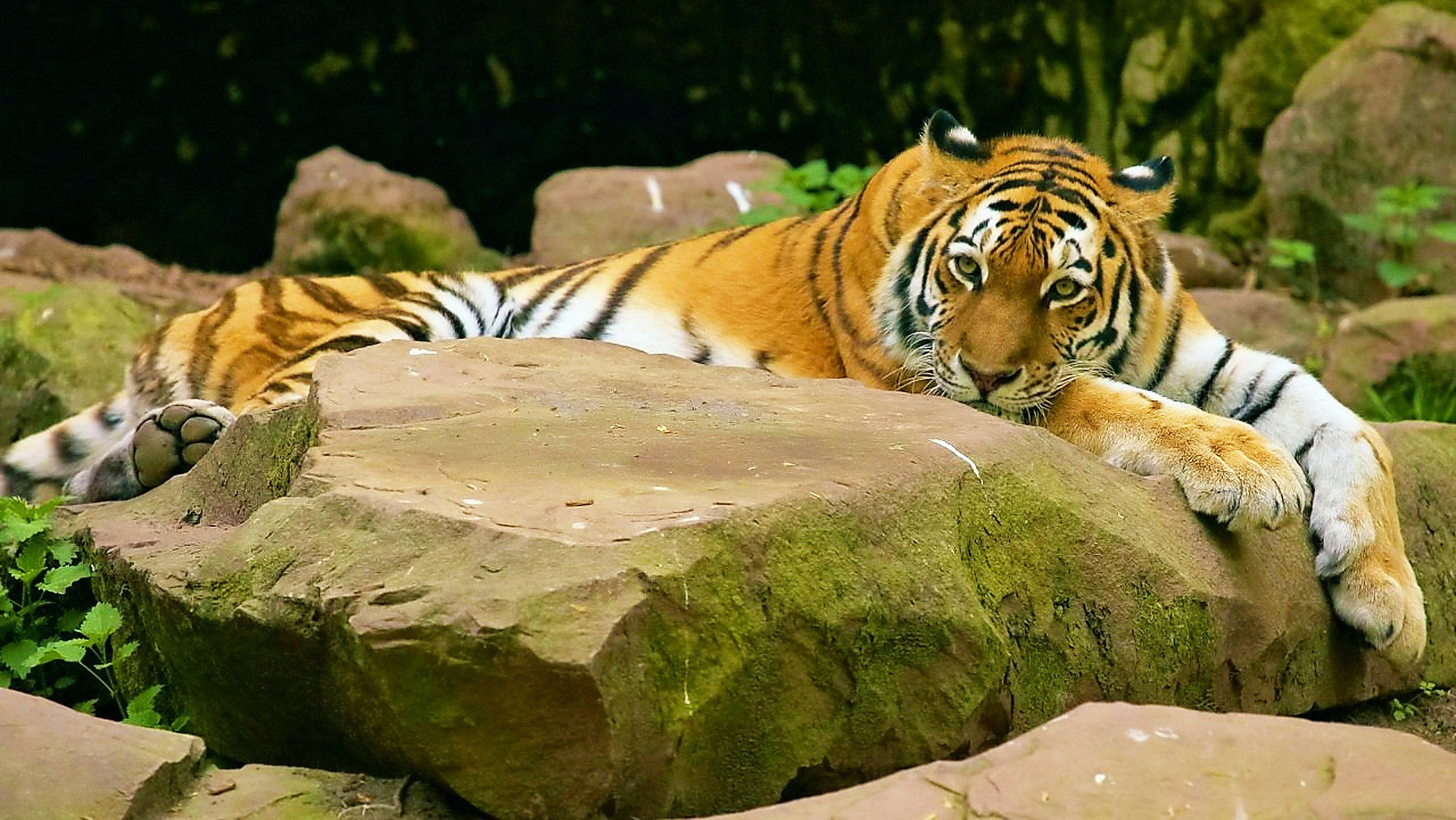 The terrible tiger is resting after the hunt