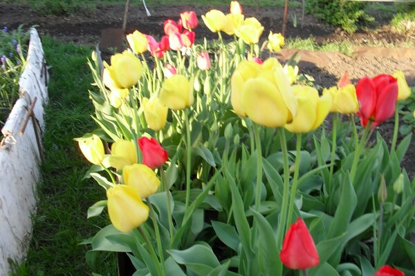 Yellow tulips....