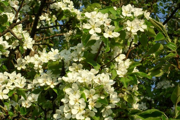 And in the Urals pears bloom too