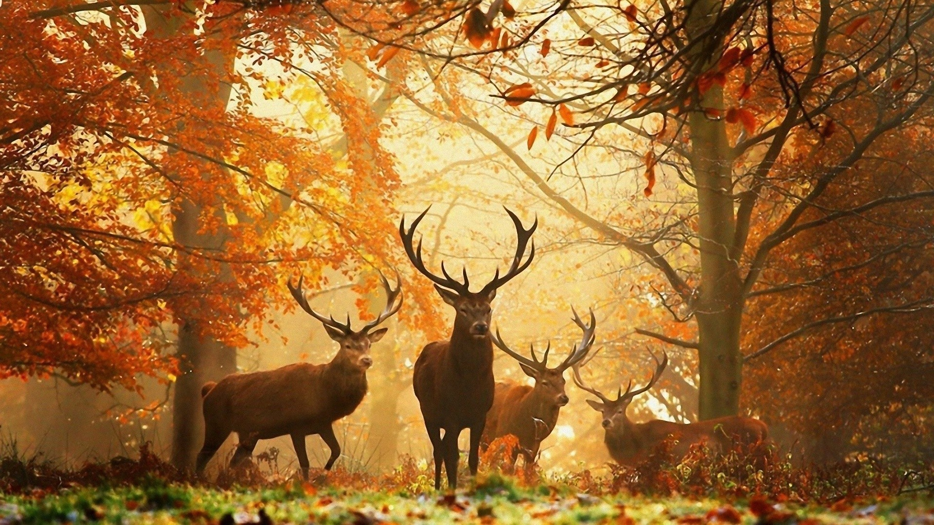 A flock of deer comes out of the autumn forest