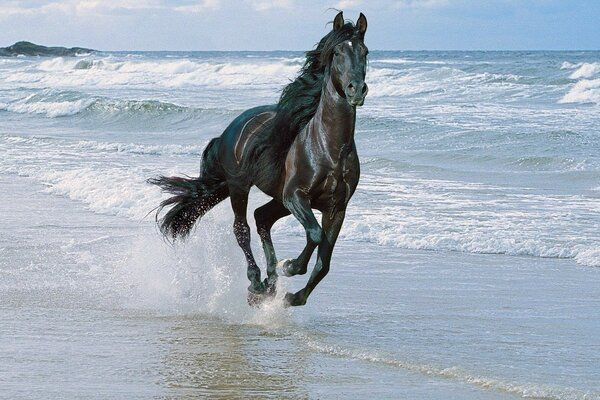 Black horse running along the shore