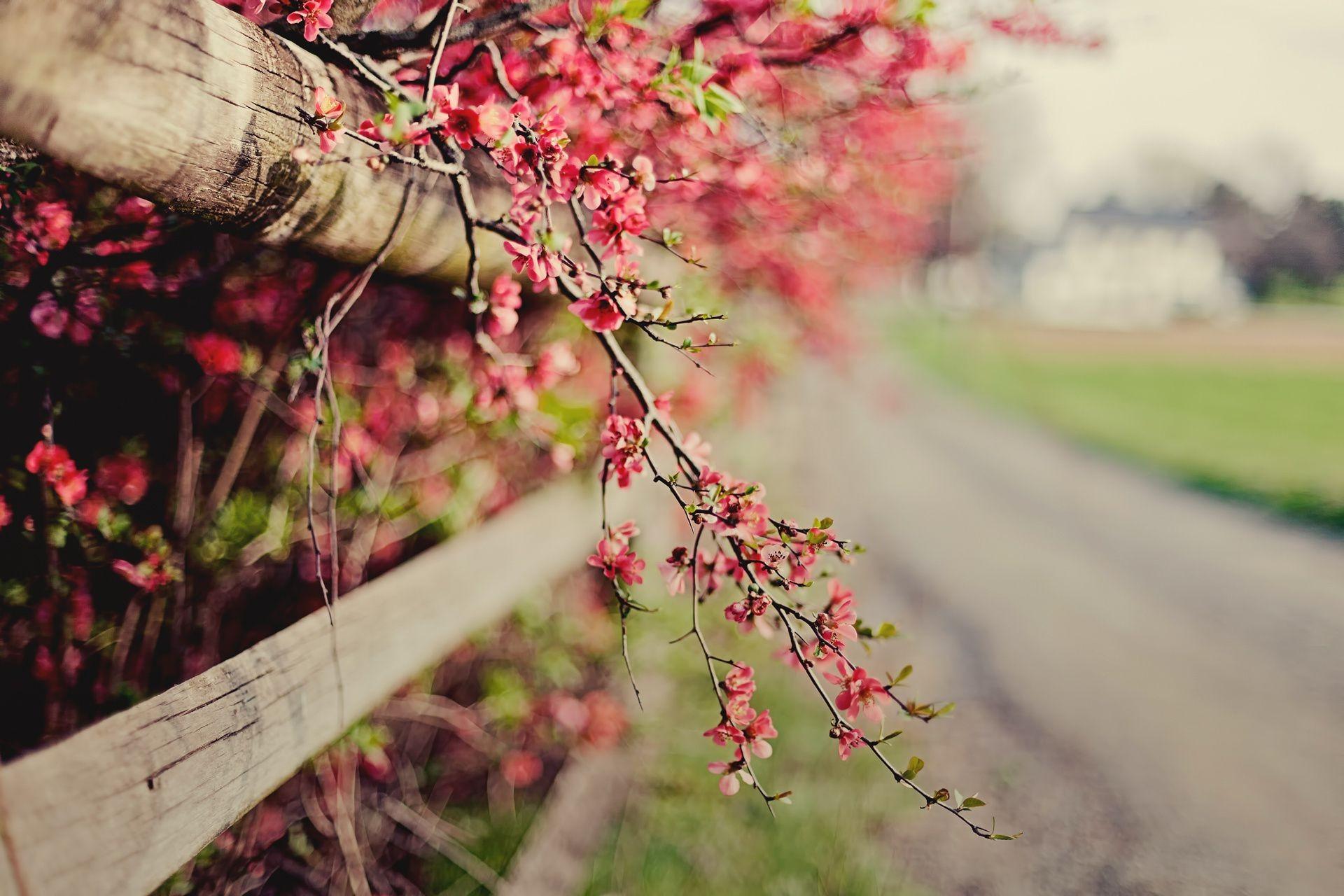Розы куст забор  № 3015336 бесплатно