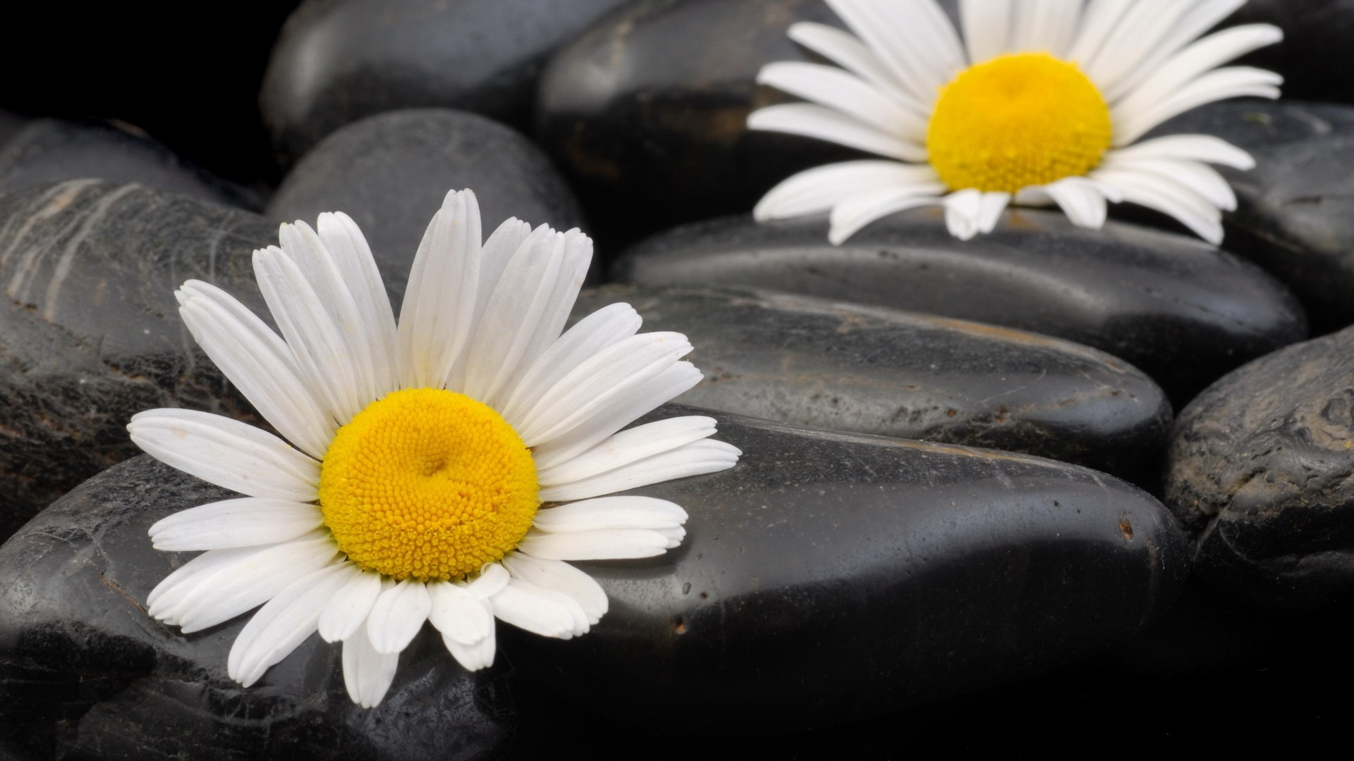 Two daisies on the pebbles