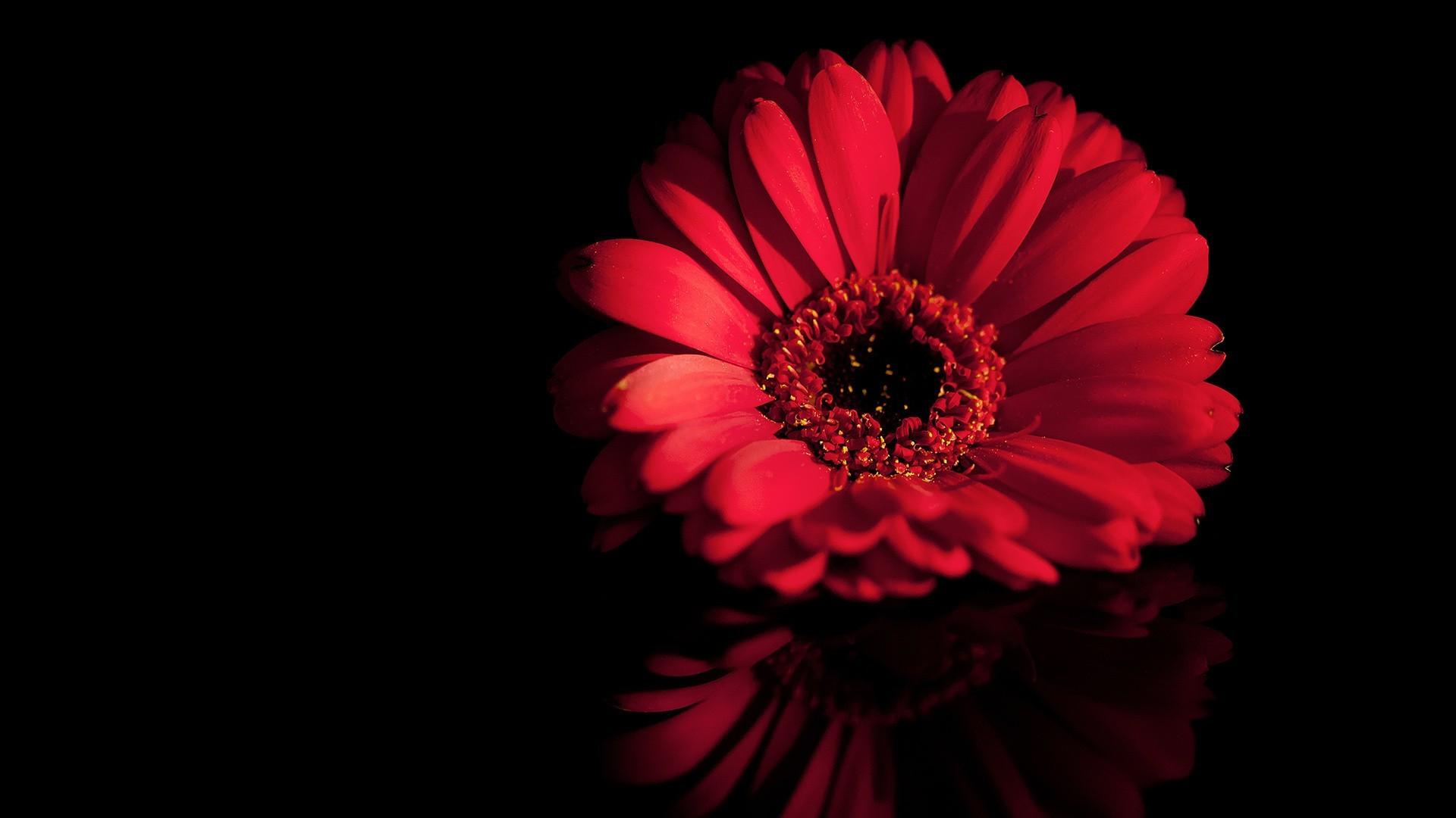 Обои на рабочий стол красные цветы на черном фоне