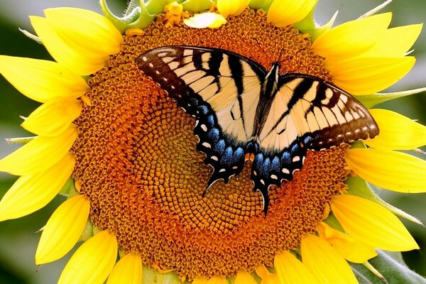 Sunflower,swallowtail