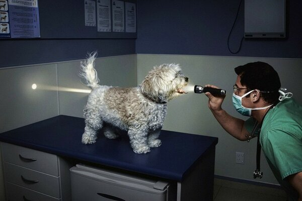 The vet examines an empty stomach dogs