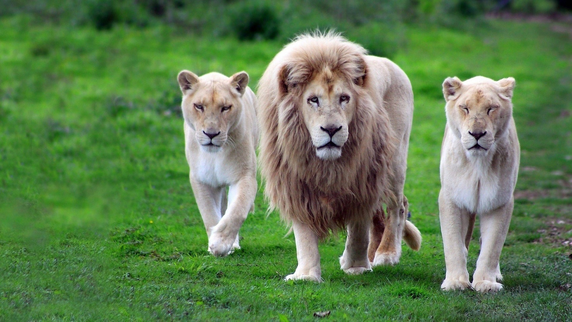 Download Wallpapers Download 2790x2547 Animals Grass: A Pride Of Lions Out Hunting. Android Wallpapers For Free