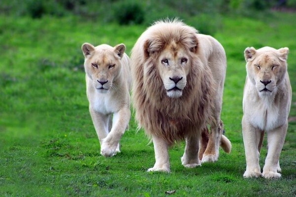 A pride of lions out hunting