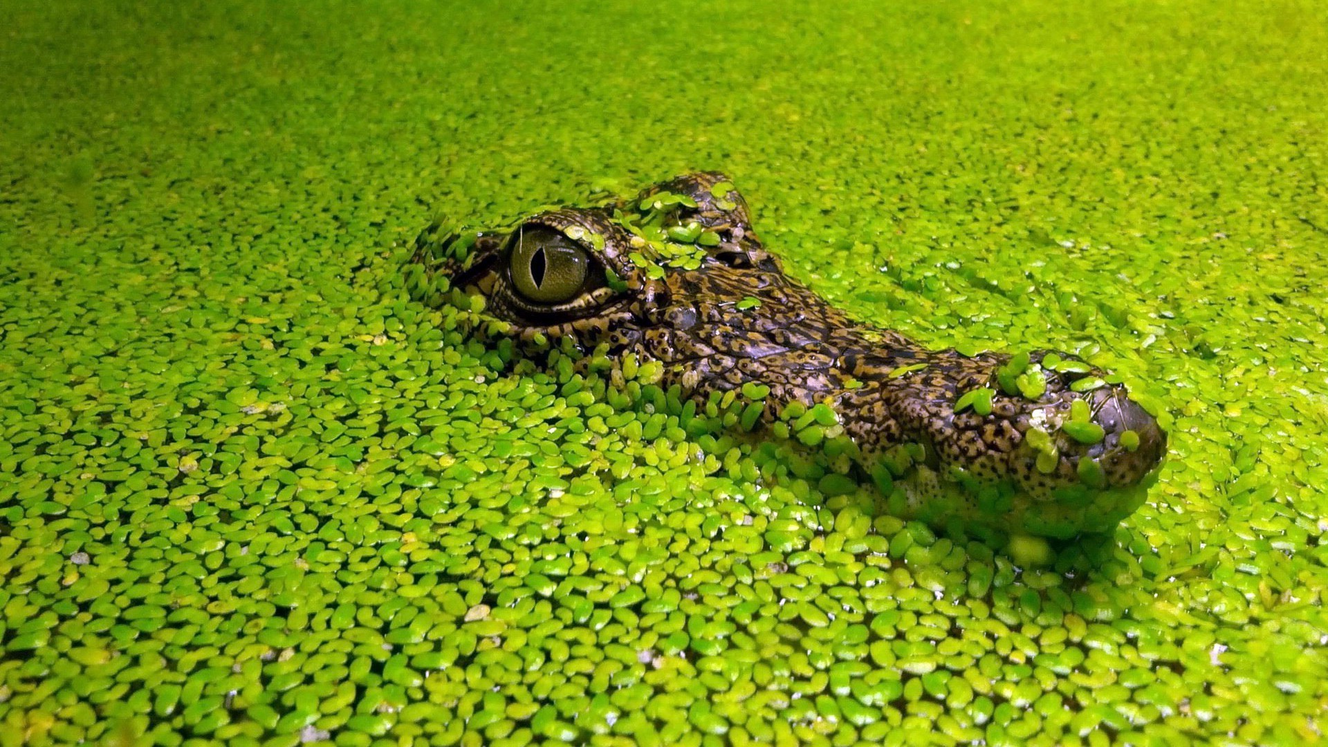 animals nature water flora close-up reptile color outdoors pool desktop garden alligator summer grass park tropical lake wild environment beautiful