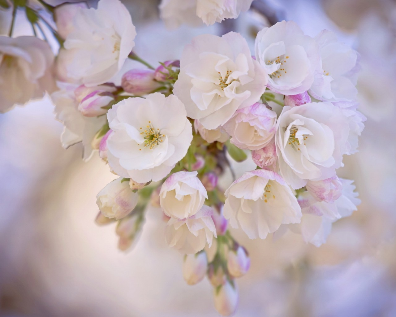 flowers flower nature flora cherry branch leaf petal garden floral blooming tree bud delicate summer growth apple bright easter color