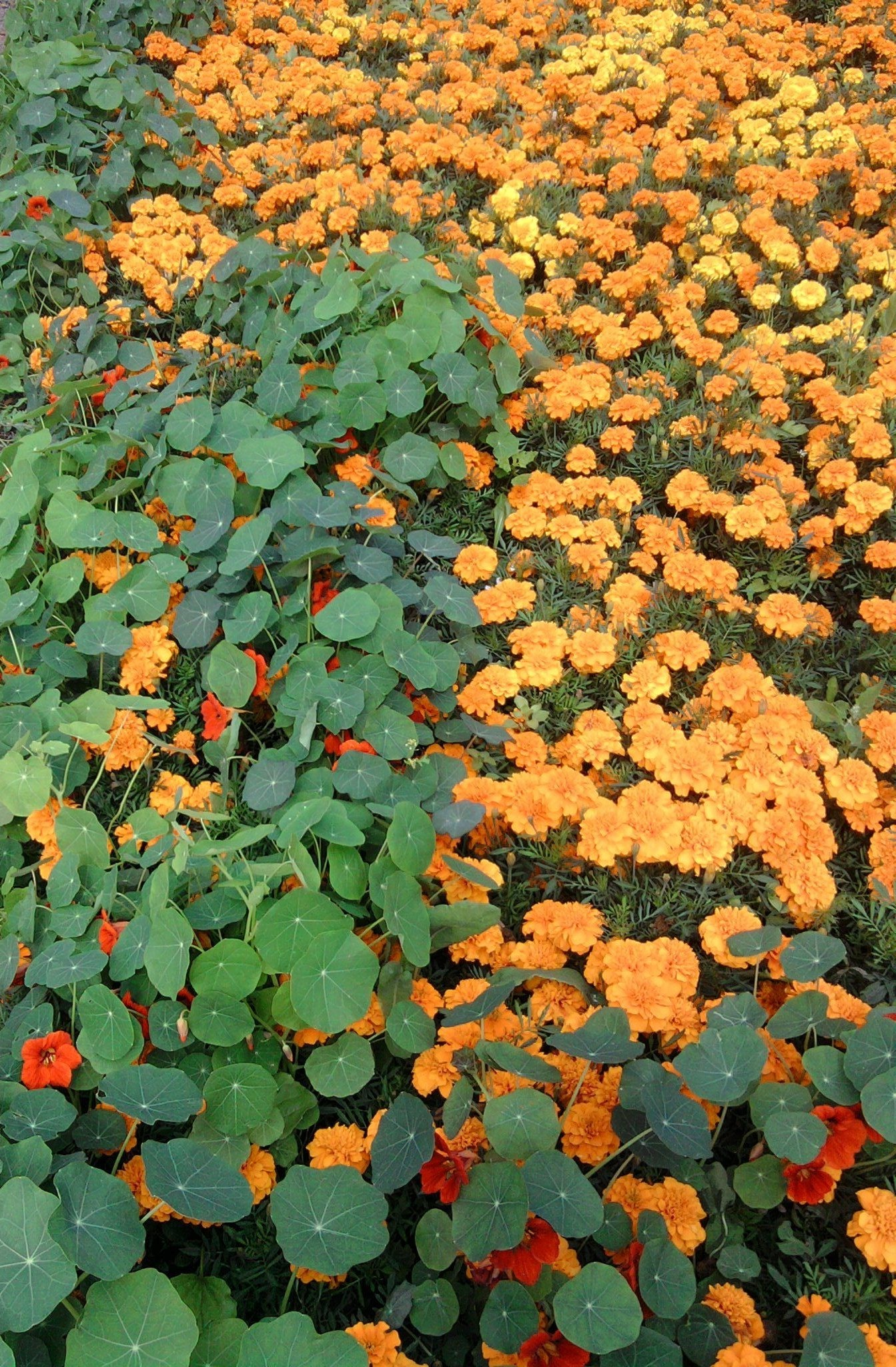 Nasturtium and marigolds