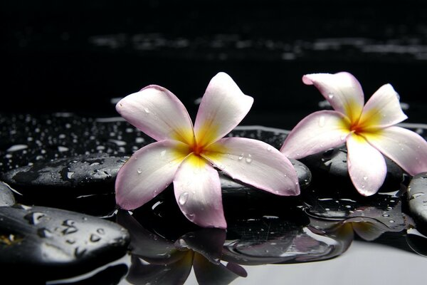 Lilies on black stone