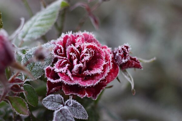 winter rose-warm heart and soul