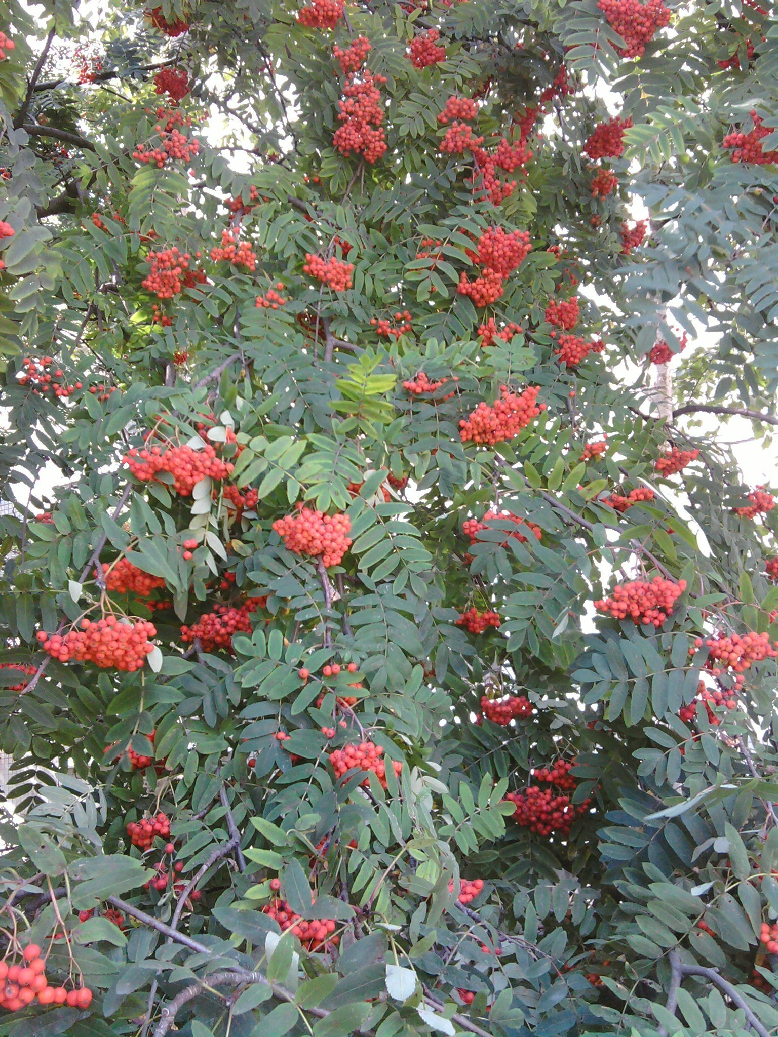 trees tree shrub branch leaf flower season berry flora nature rowan decoration garden rowanberry color evergreen fruit winter rose floral
