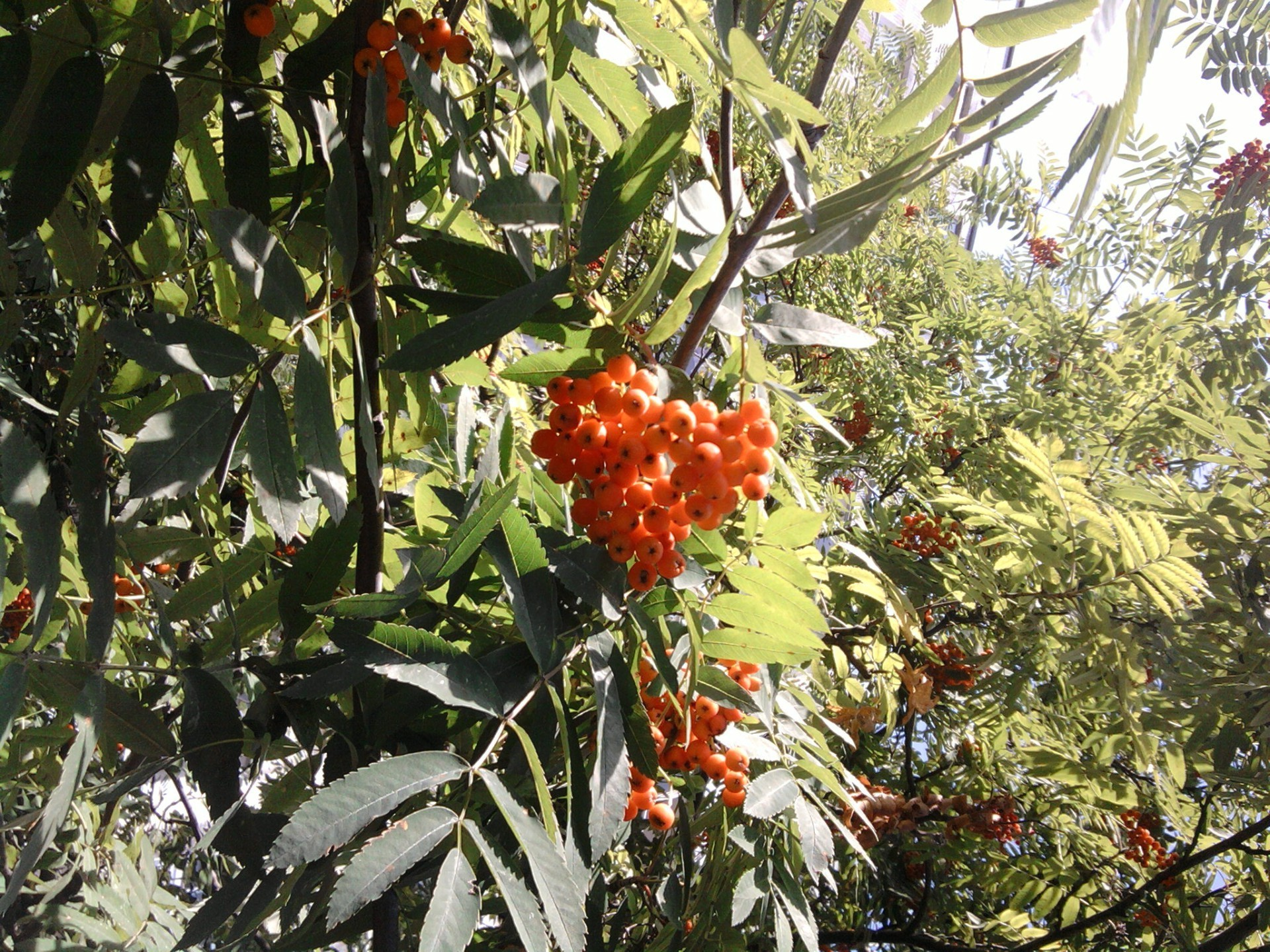 berries tree leaf flora fruit nature garden branch flower shrub agriculture food color outdoors summer season bright growth farm berry
