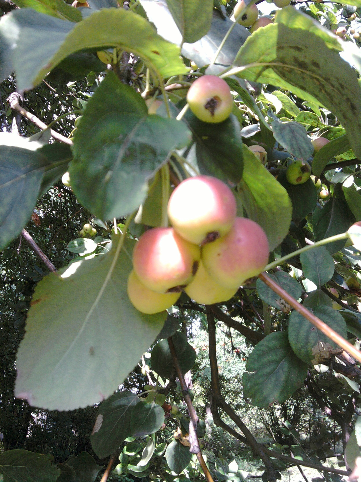 the garden fruit nature leaf tree food branch apple outdoors flora pasture agriculture farm garden season summer fall color healthy bright