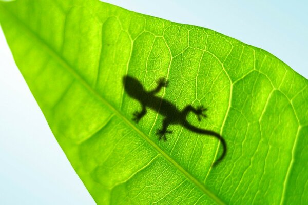 Leaf,shadow lizards