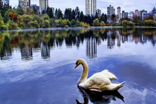 Swan in the city Park