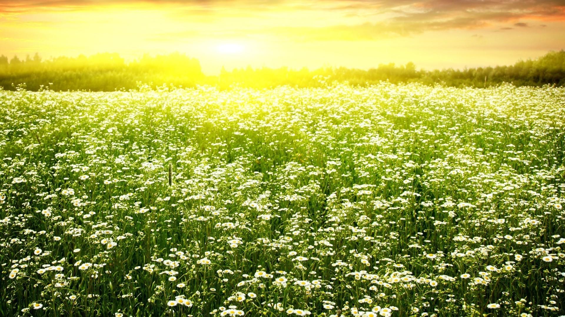 лес, лето, поляна, ромашка, солнце, трава загрузить
