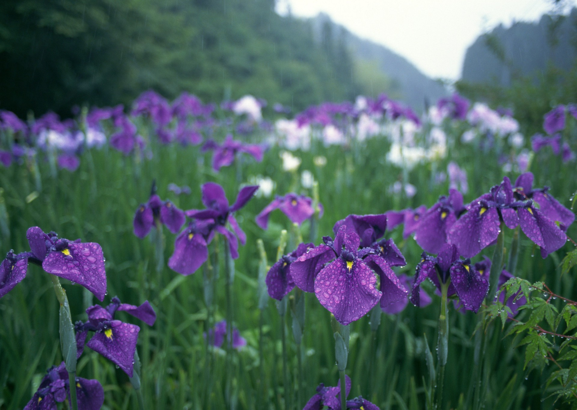 шмель,ирис,цветок,лето  № 529535 без смс
