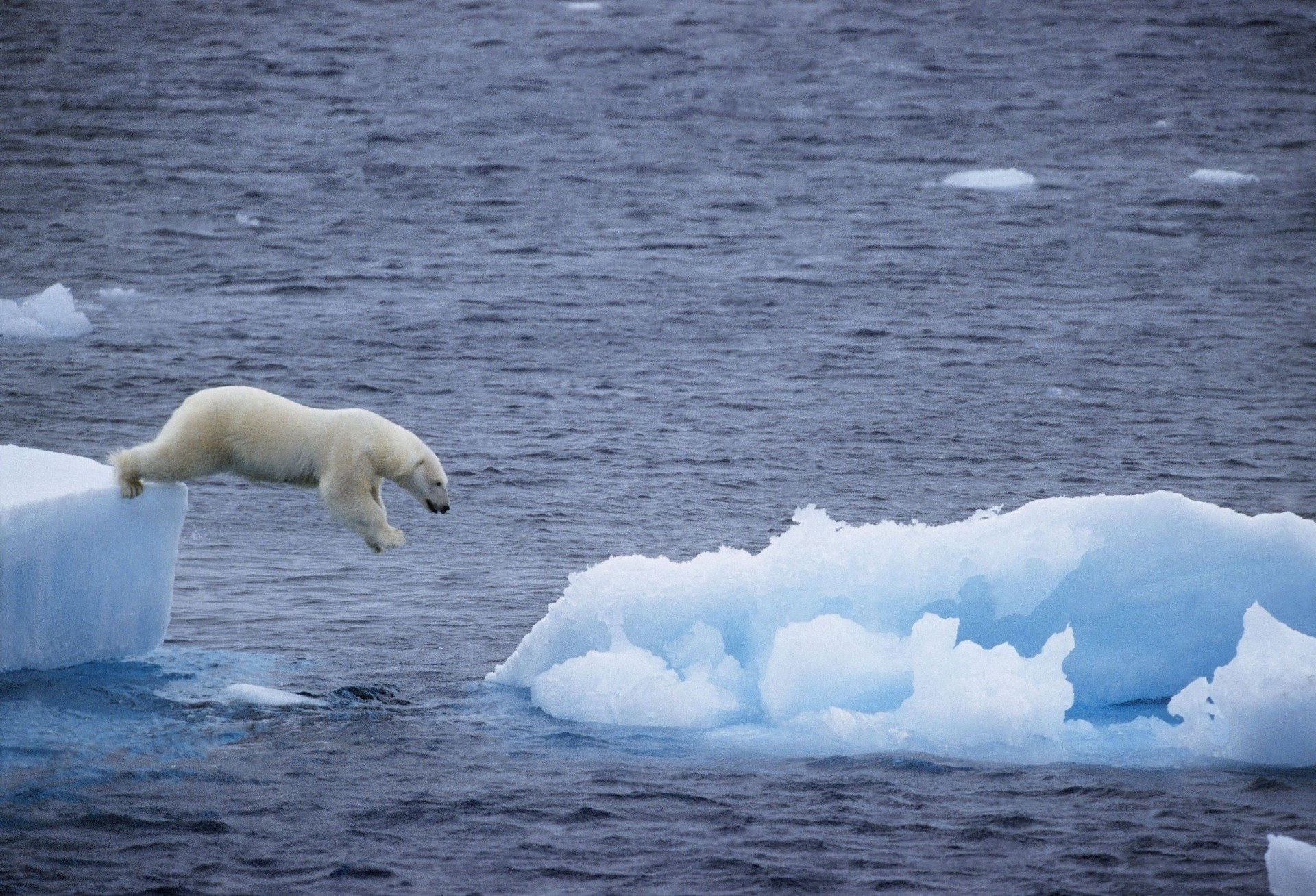 Jump polar bear with a huge ice floe