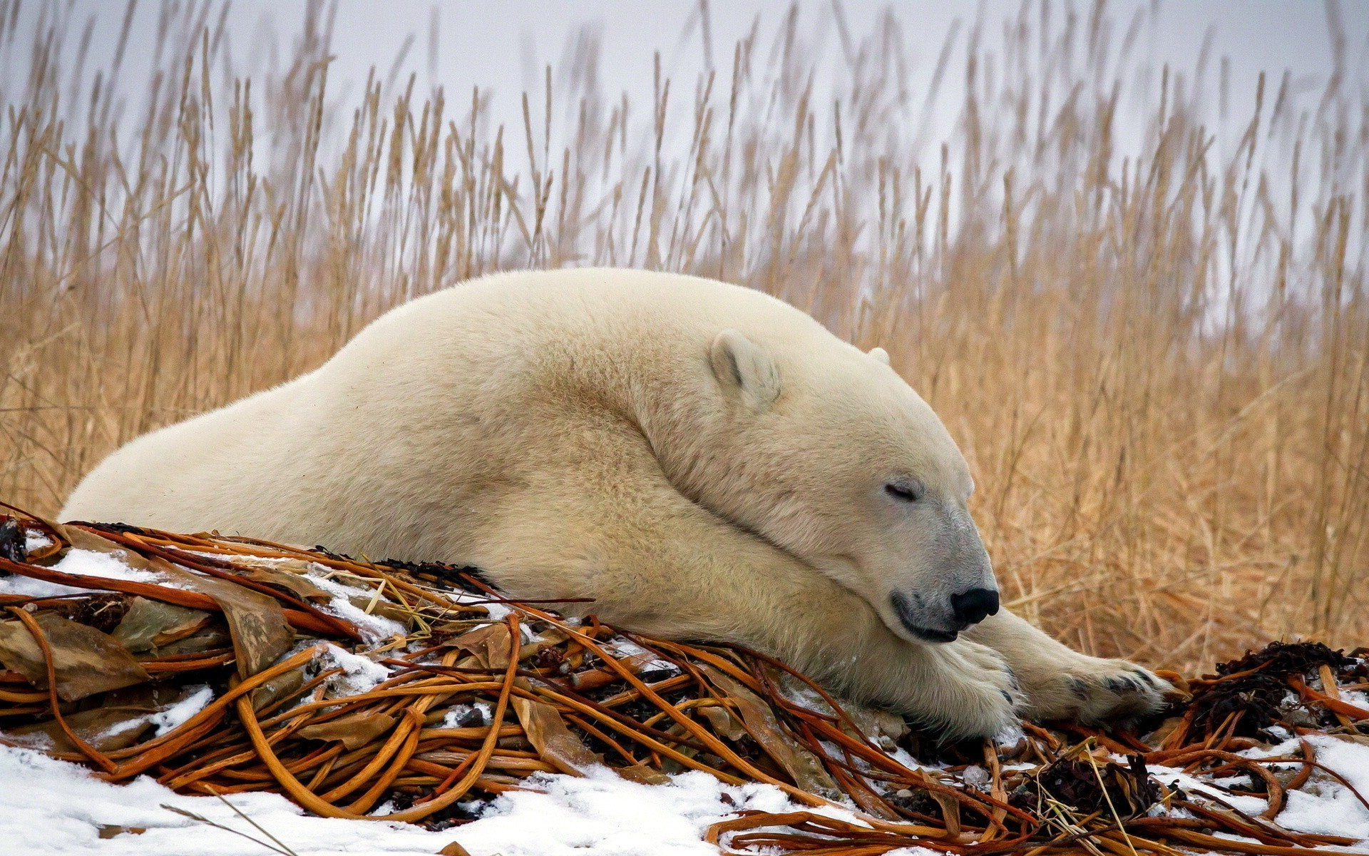 The prone polar bear