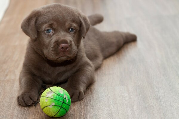 Brown puppy playing with a tennis ball