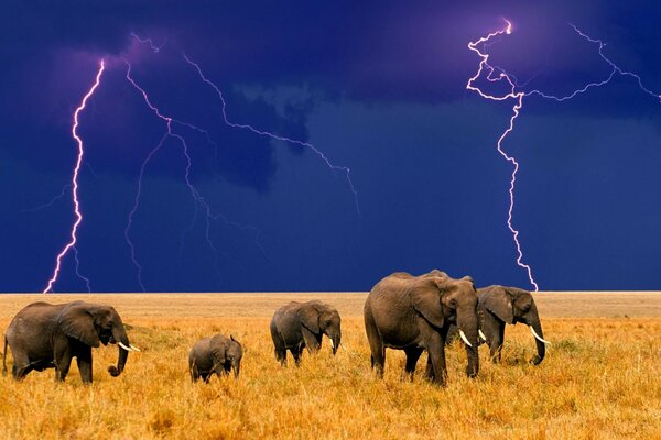 Family of elephants in the Savannah during a storm approaches