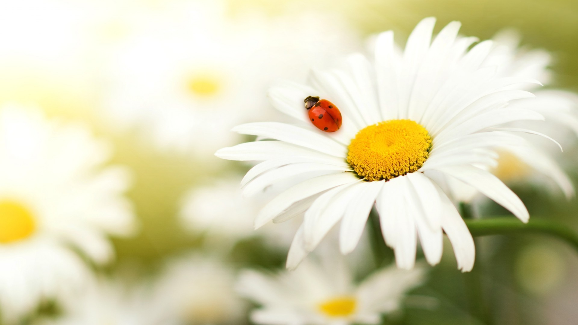 ladybug on daisy. iphone wallpapers for free.