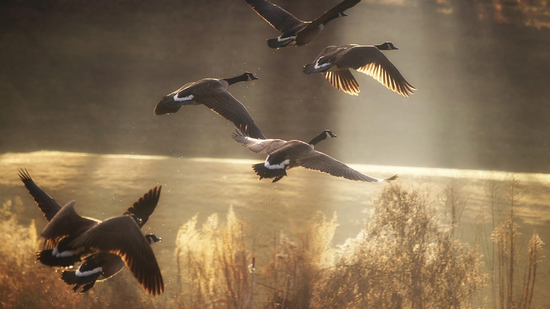 animals bird wildlife goose water seagulls outdoors nature waterfowl swimming duck flight action fly two