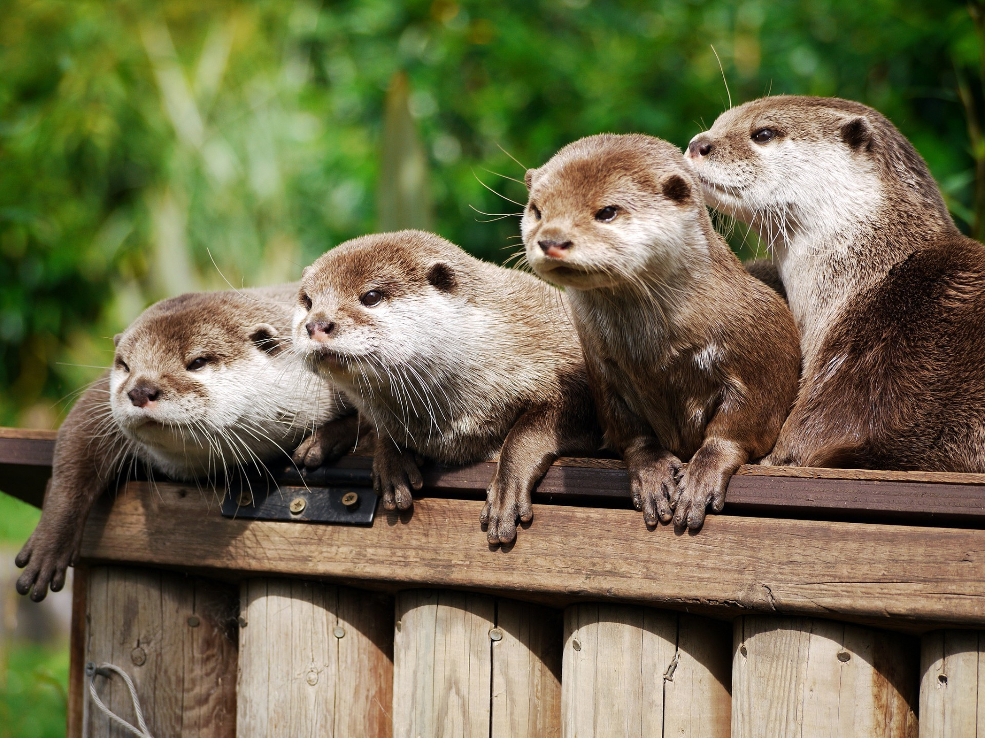 Family Of Four Beschetnyi Asian Otters Android Wallpapers