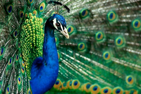 Peacock with her tail