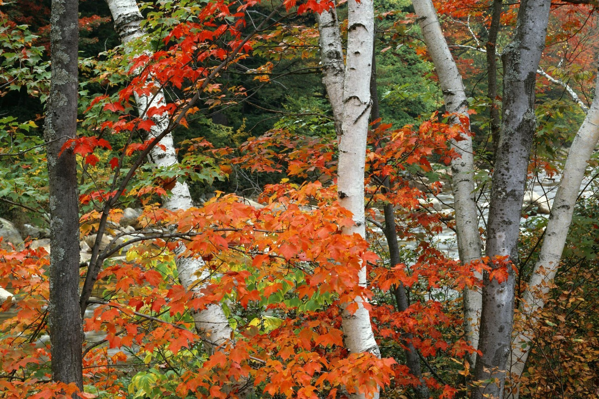 Birch and maples