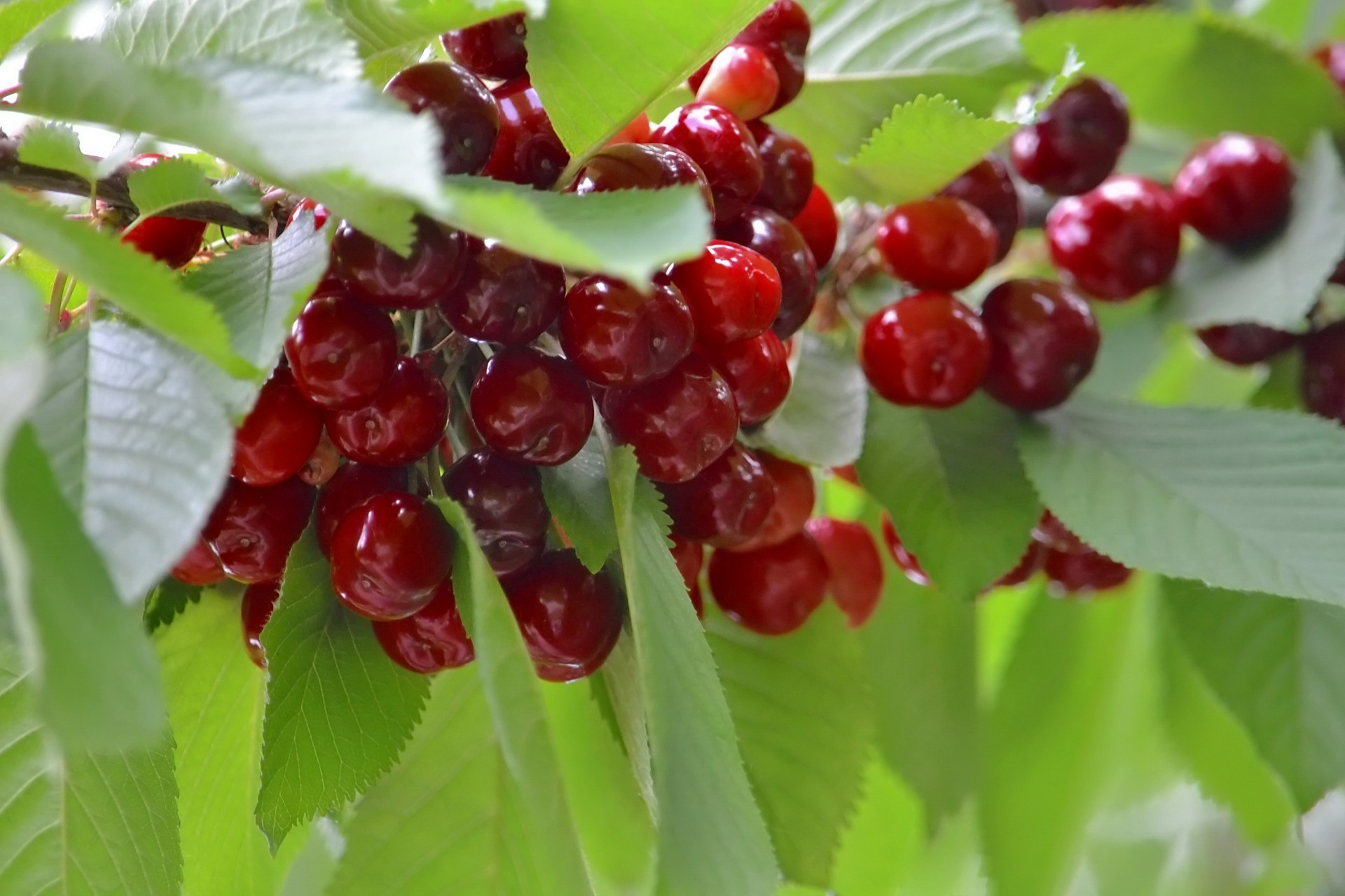 berries leaf berry fruit nature food healthy summer confection health close-up delicious freshness juicy garden pasture sweet cherry tasty branch