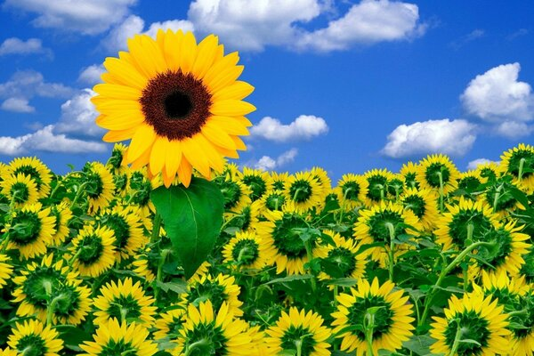 Sunflowers, pieces of a Sunny day ....