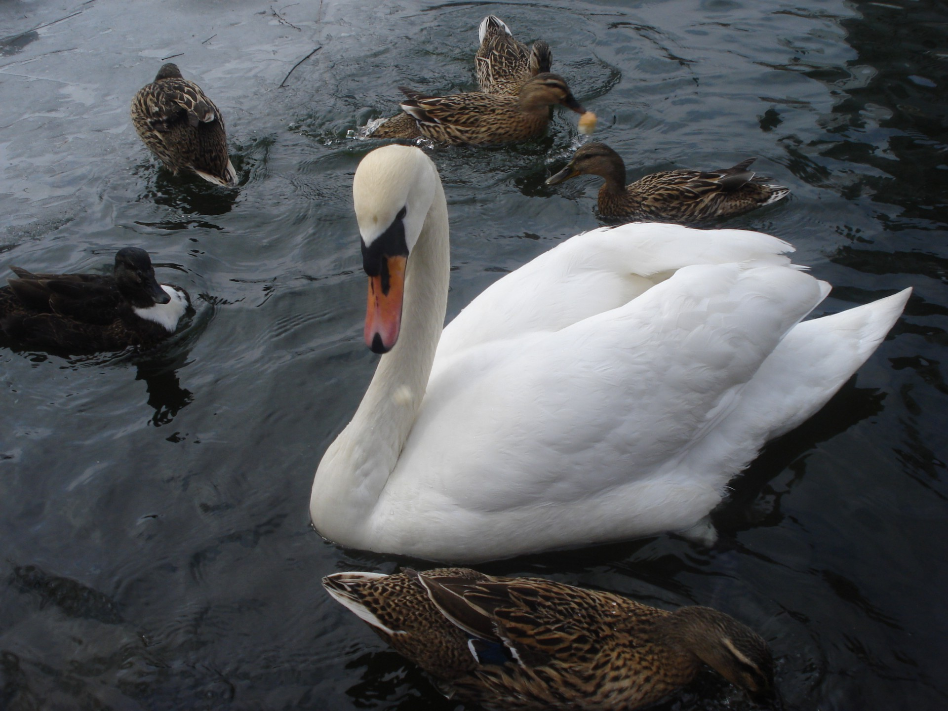 Pond swan duck iphone wallpapers for free voltagebd Choice Image