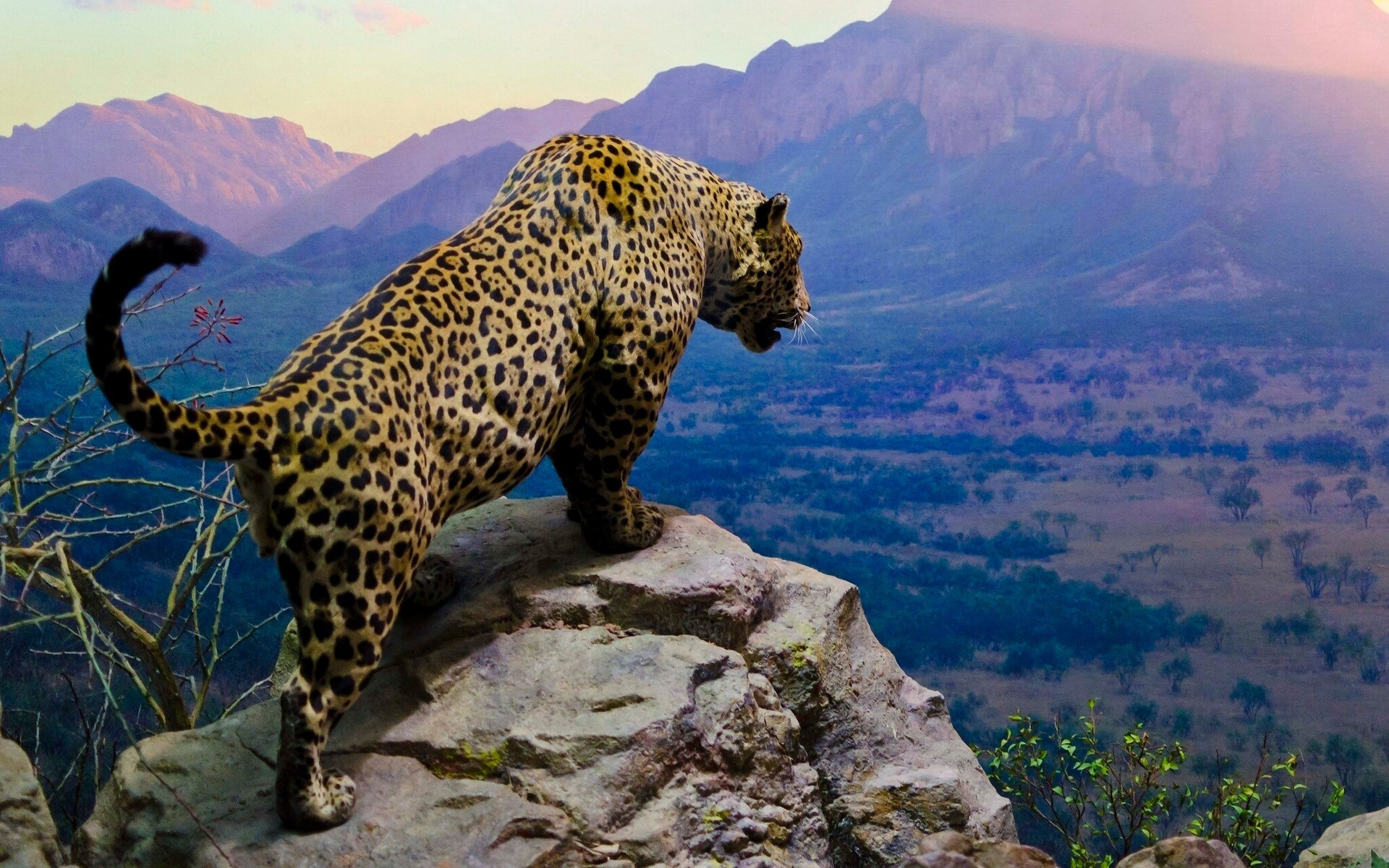 The leopard hunts its prey with stone on a high rock
