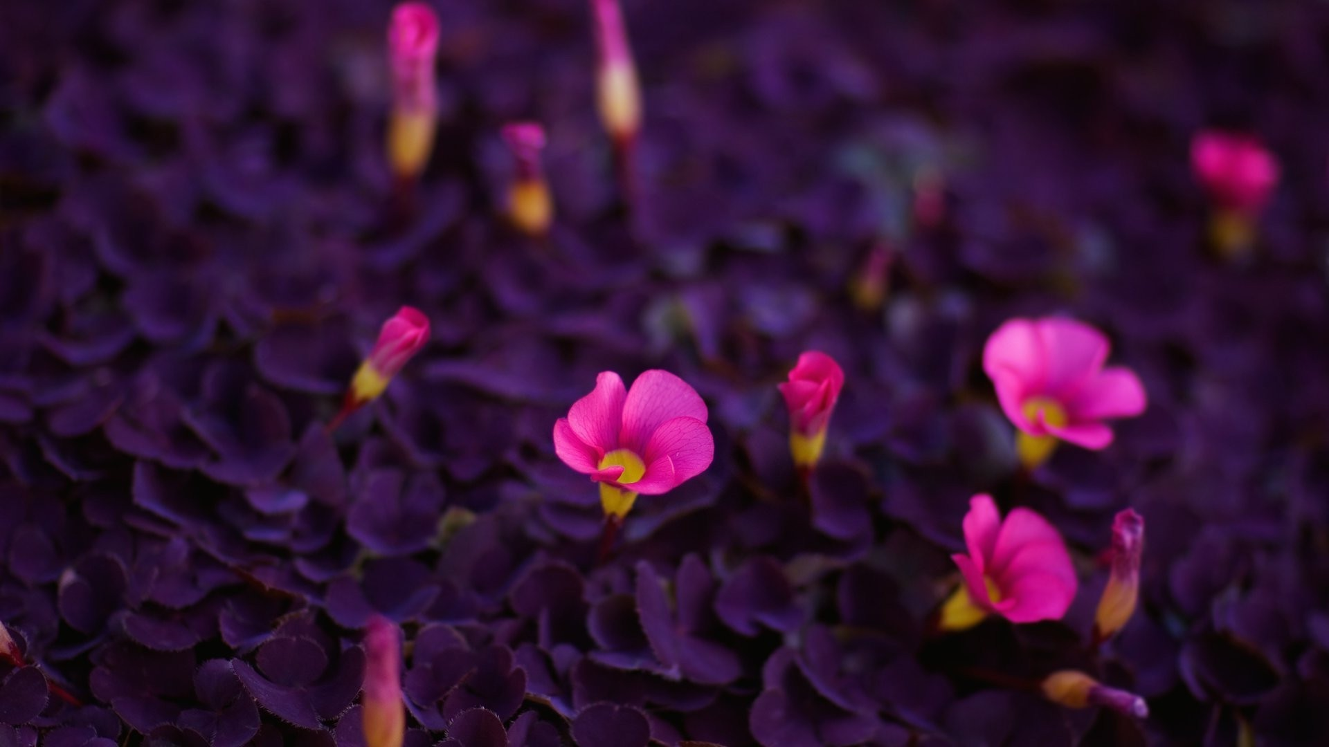 Pink Flowers With Purple Leaves Phone Wallpapers