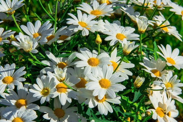 Chamomile field. Beautiful white flowers