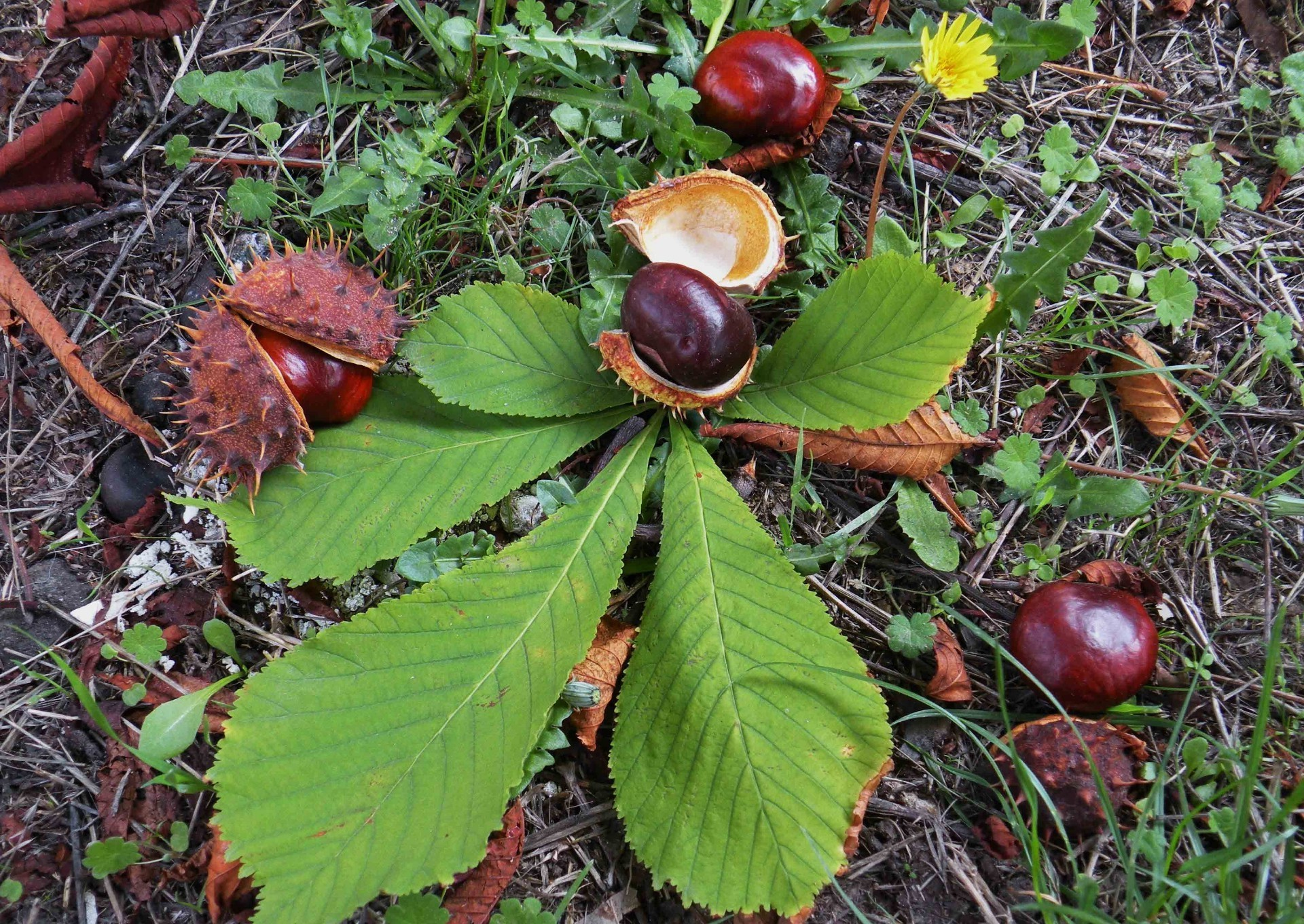 Autumn still life with chestnuts