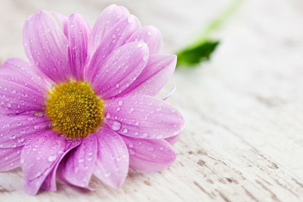 Wet flower with pink petals
